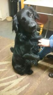 Black Male Spaniel Cross Missing from Gwithian Towans, Hayle, Cornwall, TR27 area, (South West) on Monday, 18th January 2016  Went missing 11am Was sighted 4pm Angarrack, Hayle
